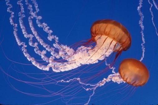 Module Nine - Invertebrates II (Sea Jellies and Echinoderms)